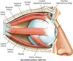 ماهیچه های چشم انسان