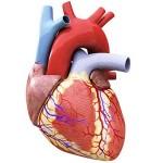 10 واقعیت اسرار آمیز درباره قلب